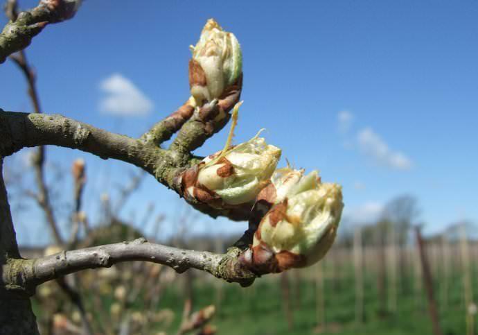 На стадии набухания почек рекомендуется вносить качественные азотсодержащие удобрения в виде мочевины или селитры