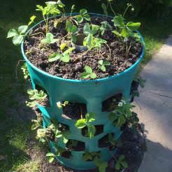 Выращивание клубники в бочке – прекрасная находка для дачников