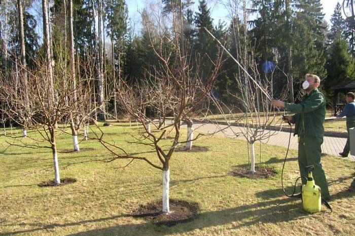 Яблони, айва, груша в конце лета страдают от плодожорки, поэтому необходимо предпринять срочные меры для борьбы с ней