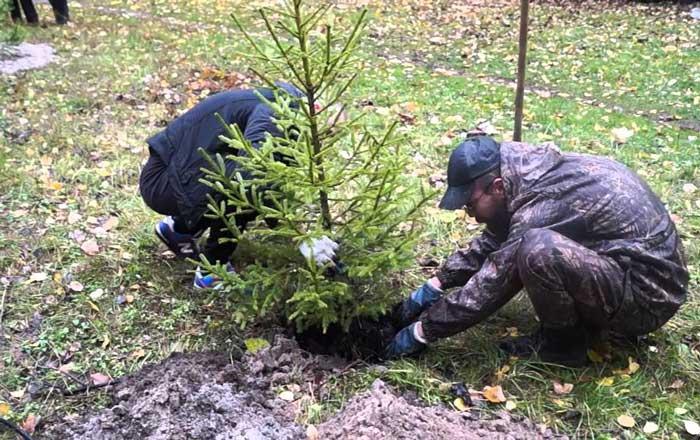 Хорошо укореняются в августе хвойные деревья. Последний месяц лета благотворно влияет на рост ели и сосны