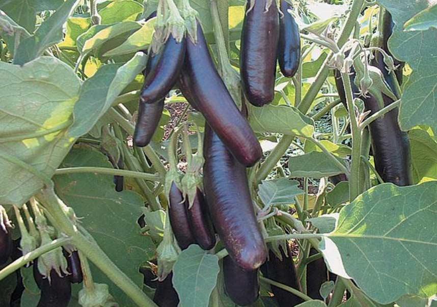 Свести вероятность заражения баклажан инфекциями к нулю позволяет создание благоприятных условий для выращивания и соблюдением технологии культивирования овощных культур