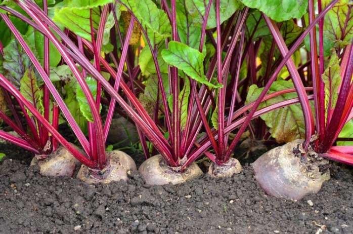 Выращивание столовой сочной свёклы в тепличных конструкциях не только облегчает уход за растениями, но и позволяет получать более стабильный и ранний урожай