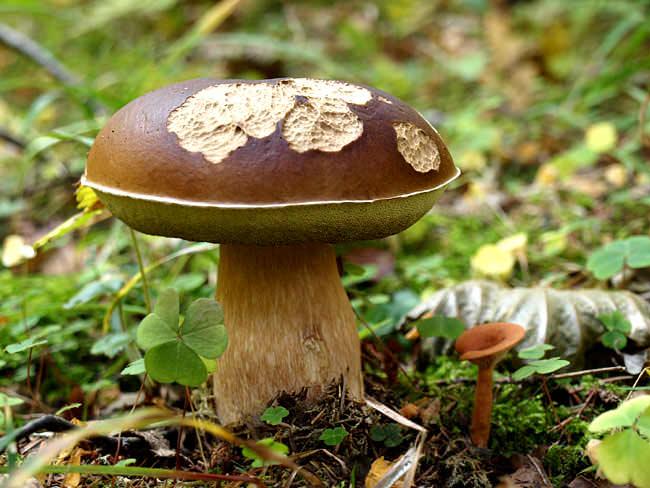 Белые грибы могут поражаться не только болезнями, но и многочисленными вредителями, снижающими урожайность и качество грибных плодовых тел