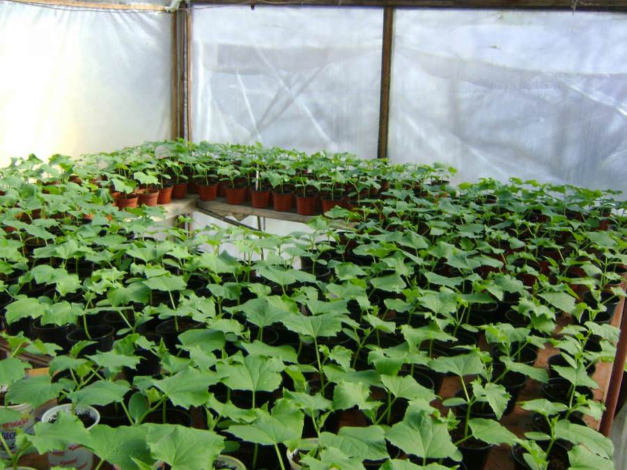 Во время посадки огурцов в лунку помещают только питательный горшочек. Стебель растения при этом не трогают, окучивание не проводят
