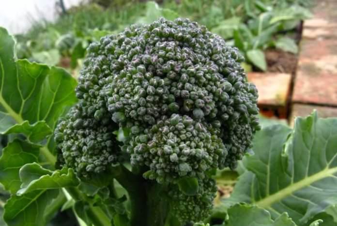 При выращивании брокколи  сорта «Витаминная» можно получить хорошие результаты