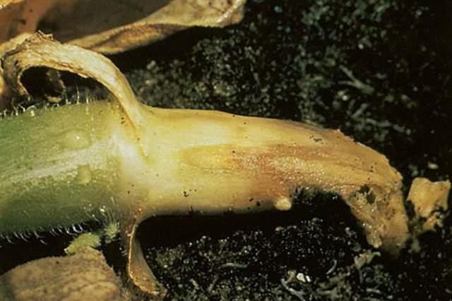 В теплице у помидор может развиться корневая гниль. Как правило, недуг наблюдается в усиленных конструкциях. Характерные признаки: загнивание шейки корня и увядание листьев