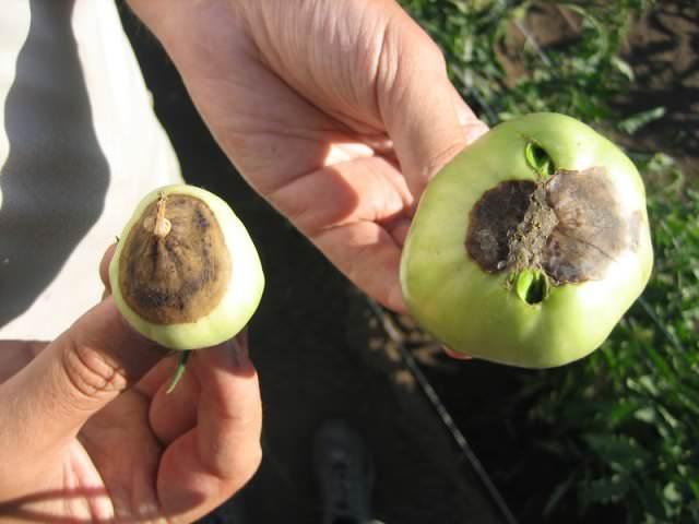 Особенности, характеризующие заболевание: на зеленых плодах, относящихся к 1 кисти, возникают вдавленные сухие черные или водянистые с гнилью пятна