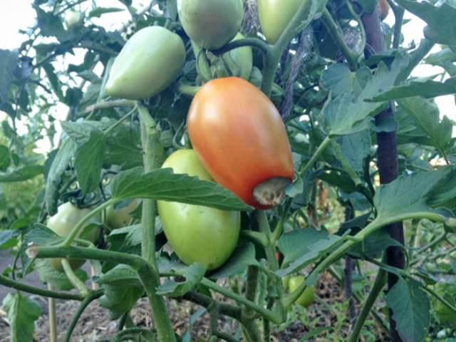 Как бороться? Требуется производить регулярный полив, пораженные плоды уничтожают, на зараженное растение распыляют кальциевую селитру