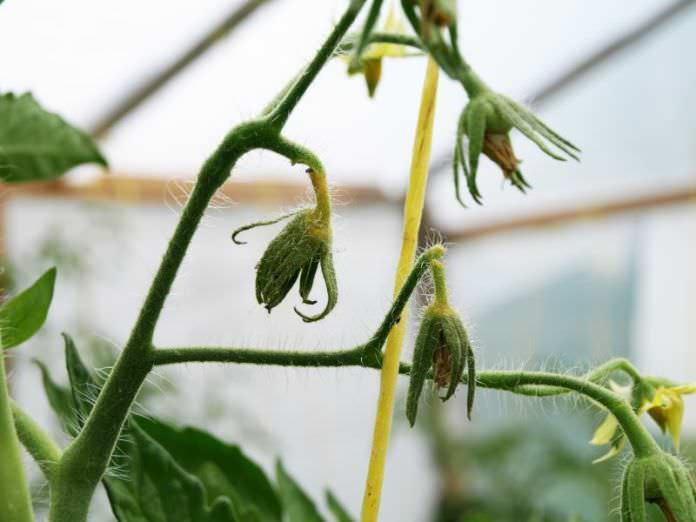 При недостатке бора цветы на томатах могут опадать