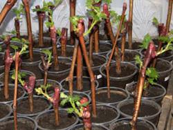 Черенки винограда дают возможность размножать растение эффективно и быстро