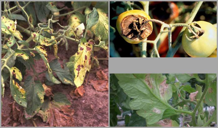 Сначала инфекция затрагивают верхнюю часть листьев, затем зеленая часть растений начинает чернеть, а фитофтора переходит и на плоды