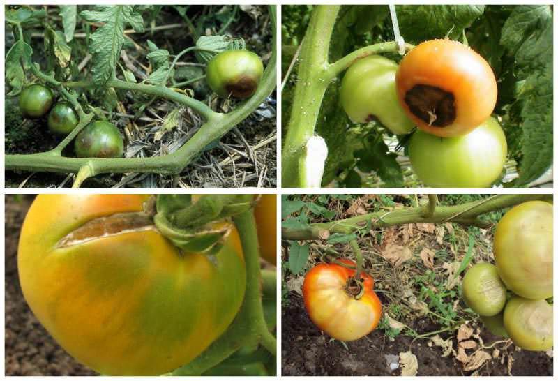 Причины потемнения томатов могут быть различными, начиная от неправильного ухода и нехватки каких-либо микроэлементов, заканчивая деятельностью вредителей