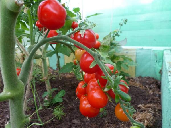 Чтобы вырастить маленькие томатики в теплице или в условиях дома, следует учитывать некоторые тонкости и нюансы