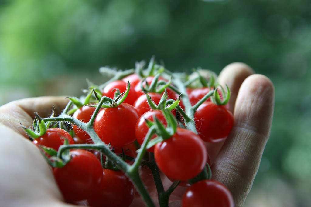 Сбор таких помидорчиков производится исключительно на стадии полной зрелости, что позволит получить плоды с максимальной степенью сахаристости и отличными вкусовыми качествами