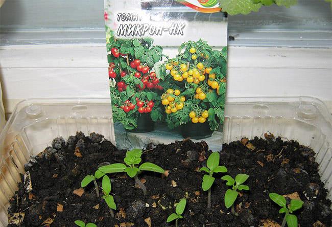 Предпосевная обработка семян и выращивание рассадного материала не имеют принципиальных и влияющих на урожайность отличий от обычных томатов