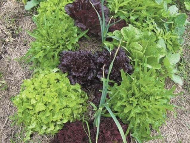 Если сочетать совместимость растений со скоростью их созревания, можно запустить в теплице настоящий «зеленый конвейер»