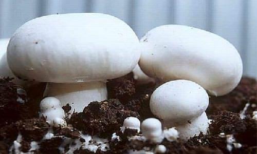 Выращивание шампиньонов – процесс, требующий определенных усилий