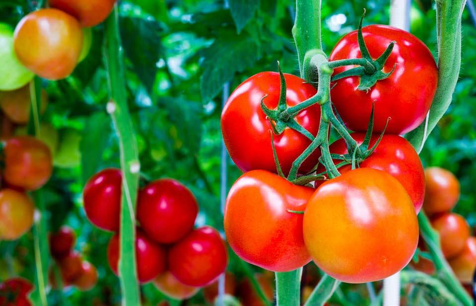 Перед посадкой нужно грамотно выбрать сорт томатов: необходимо, чтобы он был устойчивым к кладоспориозу, тогда растение будет хорошо развиваться и даст отличный урожай