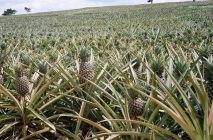 kak-rast-ananas-1