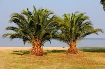kak-rast-ananas-12