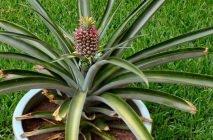 kak-rast-ananas-19