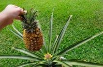 kak-rast-ananas-4
