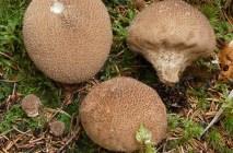 Mushroom-raincoat16