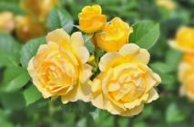 yellow-roses11
