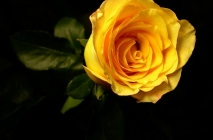yellow-roses12