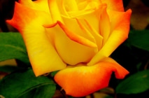 yellow-roses14