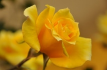yellow-roses16