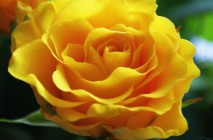 yellow-roses18