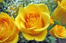 yellow-roses2
