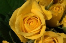 yellow-roses20