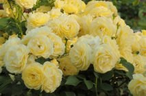 yellow-roses4