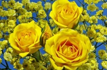 yellow-roses7