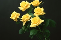 yellow-roses9