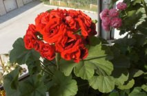 Royal-geranium12