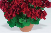 Royal-geranium13