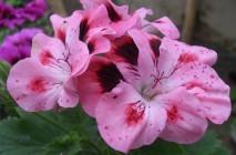 Royal-geranium14