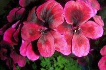 Royal-geranium15