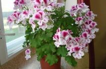 Royal-geranium16