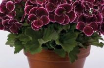 Royal-geranium17