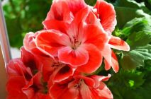 Royal-geranium2
