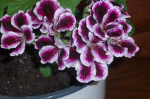 Royal-geranium20