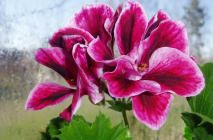 Royal-geranium4