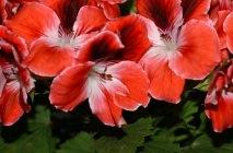 Royal-geranium5