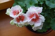 Royal-geranium7