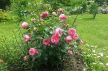 Rose-of-Leonardo-da-Vinci1
