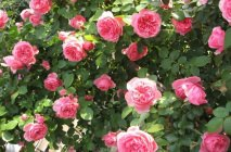 Rose-of-Leonardo-da-Vinci15